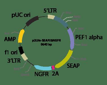p2LVa-SEAP ΔNGFR - Lentiviral