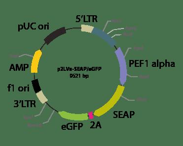 p2LVa-SEAPeGFP - Lentiviral