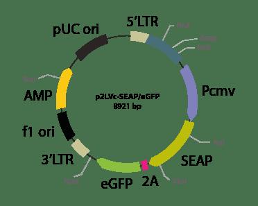 p2LVc-SEAPeGFP - Lentiviral