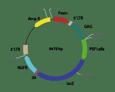 p2RVa-LacZ ΔNGFR - Retroviral
