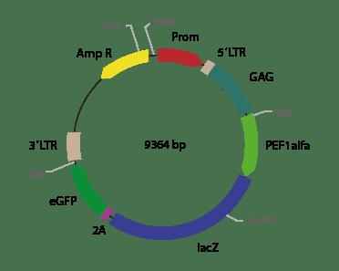 p2RVa-LacZ eGFP - Retroviral