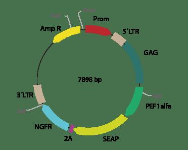 p2RVa-SEAPΔNGFR - Retroviral