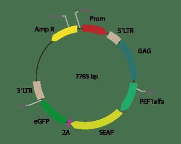 p2RVa-SEAPeGFP - Retroviral