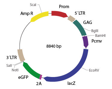 p2RVc-LacZ eGFP - Retroviral