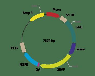 p2RVc-SEAPΔNGFR - Retroviral