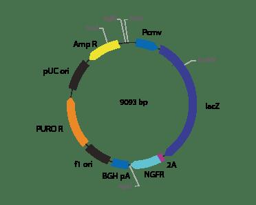 p2V-LacZ ΔNGFR-II