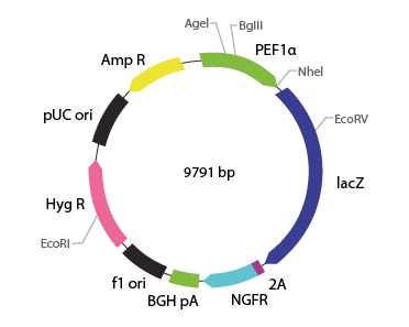 p2V-LacZ - ΔNGFR-IIIa