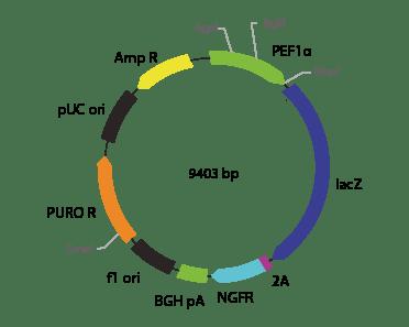 p2V-LacZ- ΔNGFR-IIa