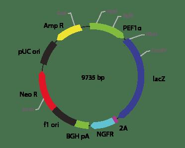 p2V-LacZ - ΔNGFR-Ia