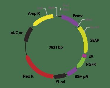 p2V-SEAP- ΔNGFR-I