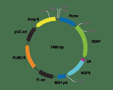p2V-SEAP- ΔNGFR-II