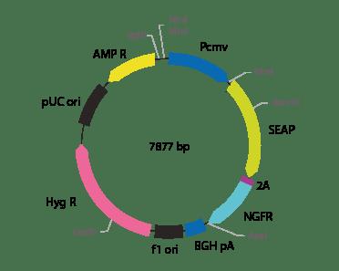 p2V-SEAP- ΔNGFR-III