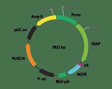 p2V-SEAP- ΔNGFR-IIa