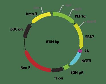 p2V-SEAP- ΔNGFR-Ia