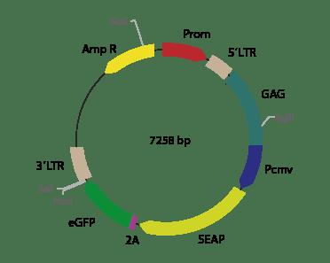p2V-SEAP LUC-Ia - Retroviral