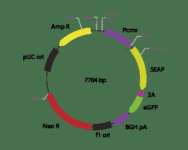p2V-SEAP - eGFP-I