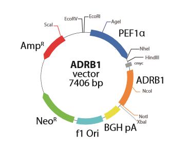 Adrenoceptor Beta 1 Receptor