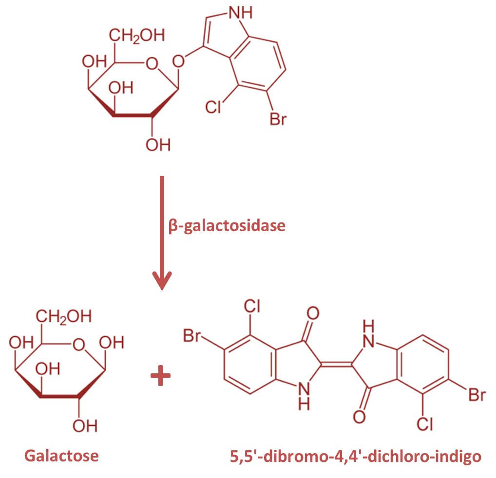 xgal reaction