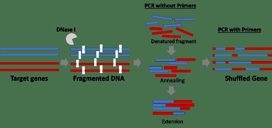 dna shuffling mutagenesis kit